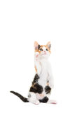 Cute tortoiseshell with paw up Royalty Free Stock Image