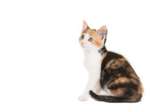 Cute tortoiseshell sitting cat looking up. Cute sitting female tortoiseshell young cat seen from the side isolated on a white background stock photography