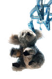 Cute Toy Baby Kaola. Cute toy kaola hanging outside Stock Photos