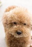 Cute toy poodle with curly fur Stock Photography
