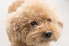 Cute toy poodle with curly fur Royalty Free Stock Photo