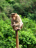 Cute Trapeeze. A monkey sitting on a railing pole comfortably Stock Image