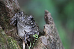 Cute Tree Frog Stock Photography