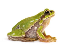 Cute tree frog over white background Stock Images