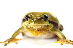 Cute tree frog on white background Stock Image