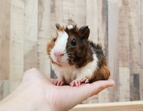 Free Cute Tri-color Abyssinian Guinea Pig Baby Smile On Hand Royalty Free Stock Image - 127589716