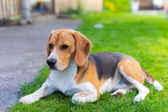 Cute tricolor beagle puppy stock photography