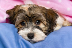 Cute tricolor Havanese puppy dog is lying in a bed Royalty Free Stock Photography