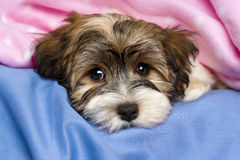 Cute tricolor Havanese puppy dog is lying in a bed. Close-up portrait of a cute little tricolor Havanese puppy dog is lying on a bed under a pink blanket Royalty Free Stock Image
