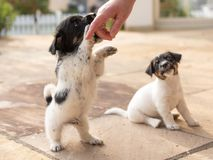 Cute tricolor Jack Russell Terrier puppies playing with her owner. 7,5  weeks old young doggies royalty free stock photo