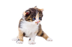 Cute tricolor kitten. Standing isolated on white background Royalty Free Stock Photo