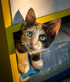 Cute tricolour curious kitten with beautiful green eyes. Curious kitten peeking out of the closet Royalty Free Stock Images
