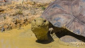 The turtle in Auckland Zoo. The cute turtle in Auckland Zoo. Nice animal in mud in Zoo stock photography