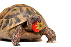 Cute turtle eating strawberry Royalty Free Stock Image