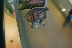 Cute turtle. Friendly red-eared slider turtle looking up from a tank Stock Photos