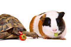 Cute turtle and guinea pig Stock Photos