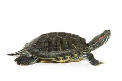 Cute turtle over white Royalty Free Stock Images
