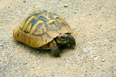 Cute turtle on sandy soil. Mature turtle with nice shell on sandy soil Royalty Free Stock Photography