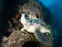 Cute turtle. Stay in  underwater world Stock Images