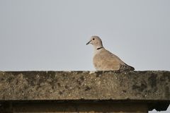 Turtledove on roof. A cute turtledove on roof Royalty Free Stock Image
