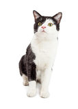 Cute Tuxedo Cat Sitting Looking Up. Adorable black and white color tuxedo cat sitting over a white background Stock Photo