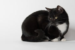 Cute tuxedo cat on white. Cute black and white tuxedo cat on white background stock photos