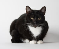 Cute tuxedo cat on white. Cute black and white tuxedo cat on white background stock image