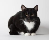 Cute tuxedo cat on white. Cute black and white tuxedo cat on white background Stock Image
