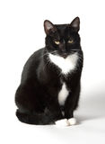 Cute tuxedo cat on white. Cute black and white tuxedo cat on white background stock photo