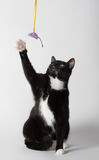 Cute tuxedo cat on white. Cute black and white tuxedo cat playing on white background stock images