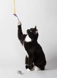 Cute tuxedo cat on white. Cute black and white tuxedo cat playing on white background Stock Photos