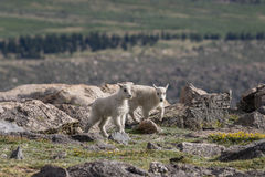 Cute Twin Mountain Goat Kids Stock Images