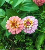 Cute twin pastel flowers in a summer green garden Royalty Free Stock Photo