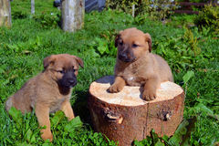 Cute twin puppies. Adorable cute young puppies posing for the camera in the sunshine stock image