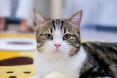 Cute. The two color Cute cat ,green eyes and pink nose,A Cute cat in the house,a American shot hair cat royalty free stock photo
