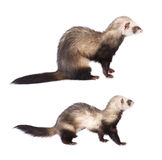 Cute two ferrets isolated on white Stock Photos