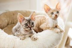 Cute two kittens Cornish Rex peering with plush basket.  Royalty Free Stock Photo
