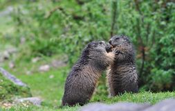 Cute two marmots eating carrot. Cute marmot and marmot : eats carrot. Austria in autumn Royalty Free Stock Images