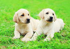 Cute two puppies dogs Labrador Retriever lying together Royalty Free Stock Images