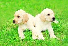 Cute two puppies dogs Labrador Retriever are lying together on grass. Cute two puppies dogs Labrador Retriever are lying together on the grass stock photo