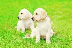 Cute two puppies dogs Labrador Retriever outdoors are sitting on grass. Cute two puppies dogs Labrador Retriever outdoors are sitting on the grass royalty free stock photo