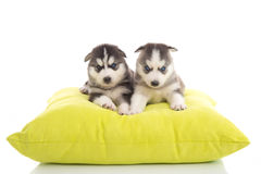 Cute two puppies siberian lying on green pillow royalty free stock photo
