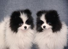 Cute Two Puppy of spitz on gray background. Portrait of a Cute Two Puppy of spitz standing on gray background royalty free stock photography