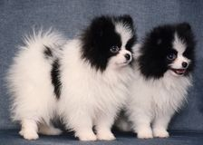 Cute Two Puppy of spitz on gray background. Cute Two Puppy of spitz standing on gray background royalty free stock images