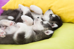 Cute Two siberian husky puppies sleeping Royalty Free Stock Images