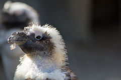 Cute ugly bird with feather in mouth. Penguin during moult molt Royalty Free Stock Images