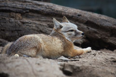 The Fox (Cute valpes corsac) Royalty Free Stock Images