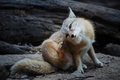 The Fox (Cute valpes corsac). The fox (scientific name: Vulpes corsac), which is a typical fox animal species, for the least China Vulpes in. Limbs and smaller Royalty Free Stock Image