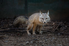 The Fox (Cute valpes corsac). The fox (scientific name: Vulpes corsac), which is a typical fox animal species, for the least China Vulpes in. Limbs and smaller Stock Photo