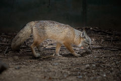 The Fox (Cute valpes corsac). The fox (scientific name: Vulpes corsac), which is a typical fox animal species, for the least China Vulpes in. Limbs and smaller Royalty Free Stock Photo